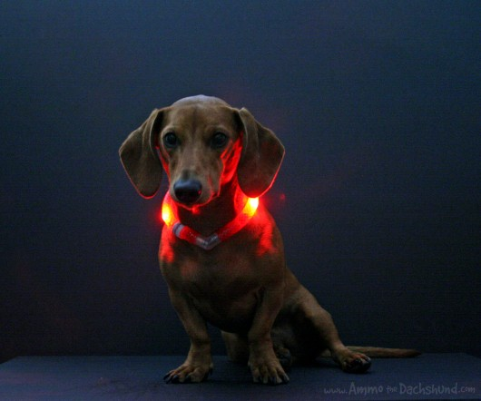 Dachshund in GlowDoggie collar
