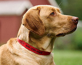 dog with ID collar