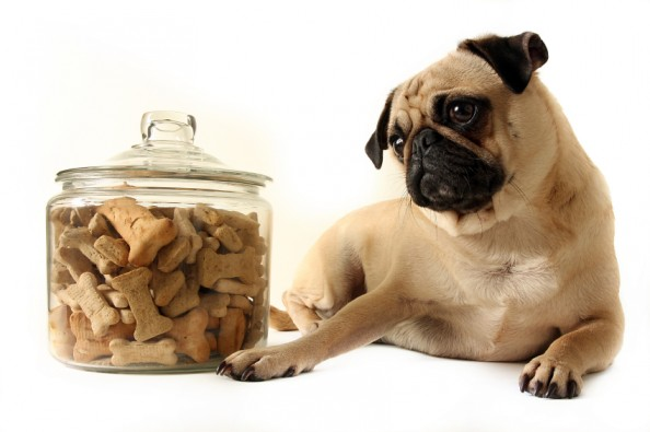 pug puppy looking at jar of treats