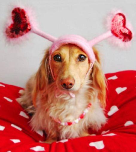 Valentine's Day Dachshund puppy