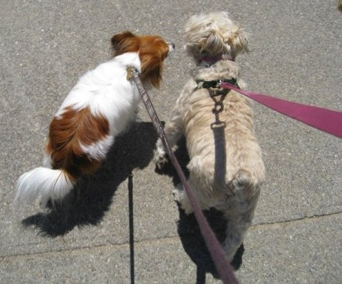 two dogs on leashes walking