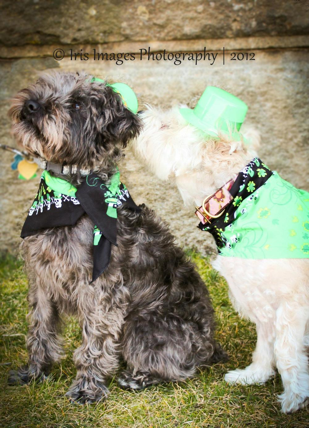 dogs in Saint Patrick's Day gear