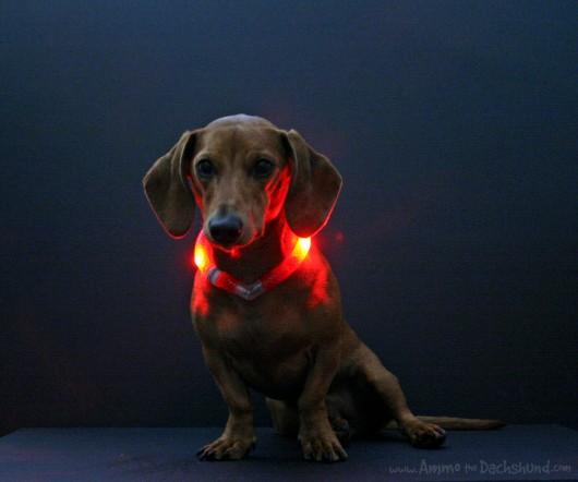 Dachshund in GlowDoggie collar
