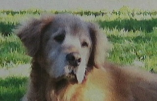 Woody the Golden Retriever was shot and killed