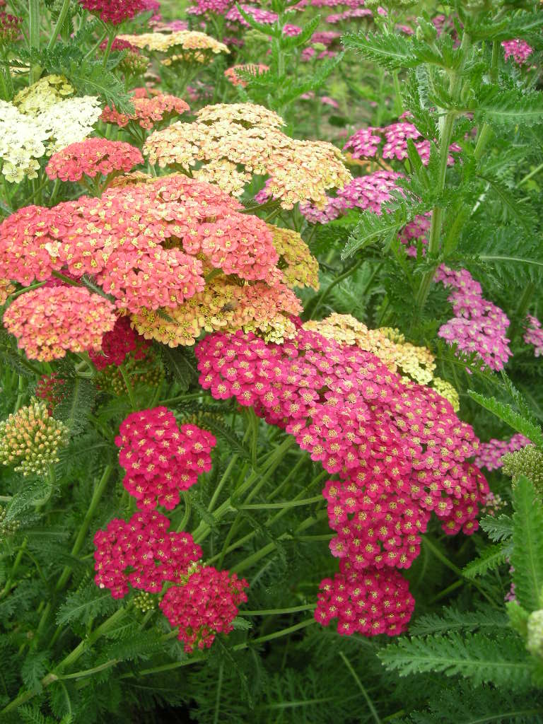 Achillea Summer Pastel Mix