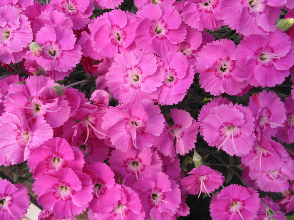 Dianthus Shooting Star Neon