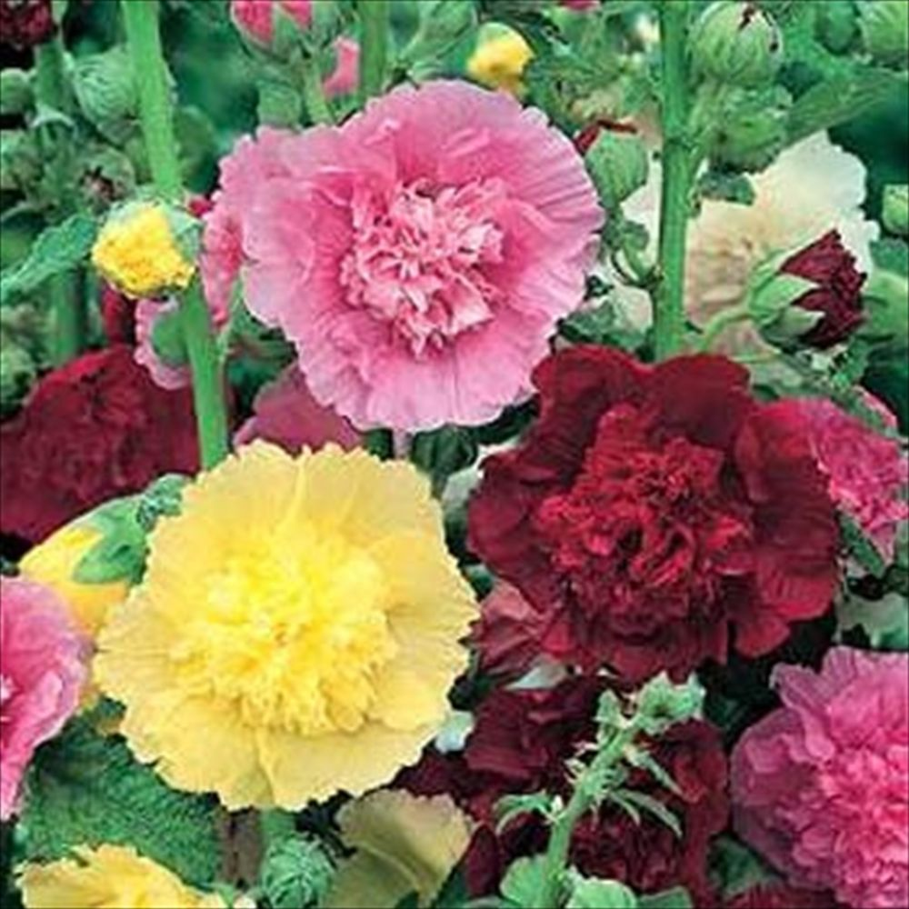 Double Hollyhock Summer Carnival