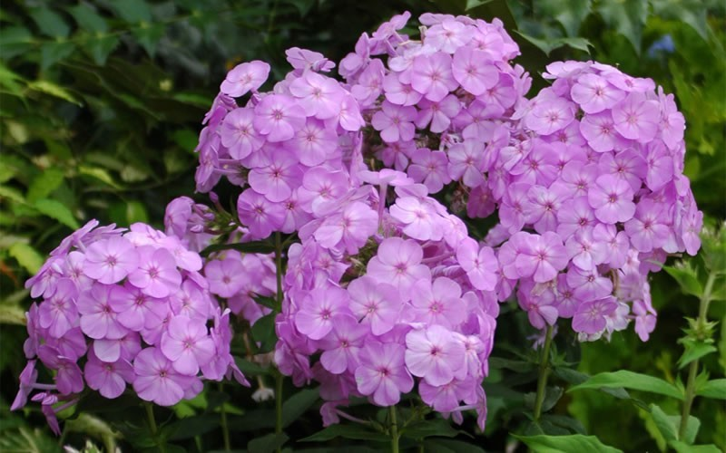Phlox Davids Lavender