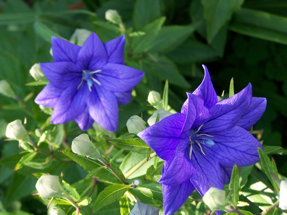 Balloon Flower Double Blue