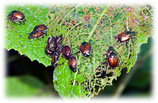 Need help with destructive Grubs and Japanese Beetles?   CLICK HERE