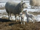 Lambing at All Together Farm