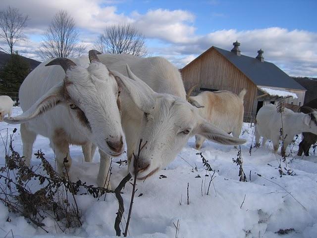 Grn Mtn Girls goats in winter.jpg