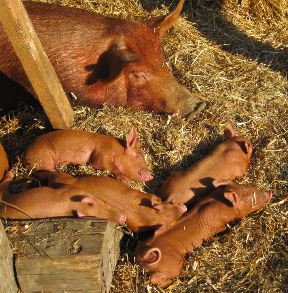 Grn Mtn Girls sow with new piglets sleeping.JPG