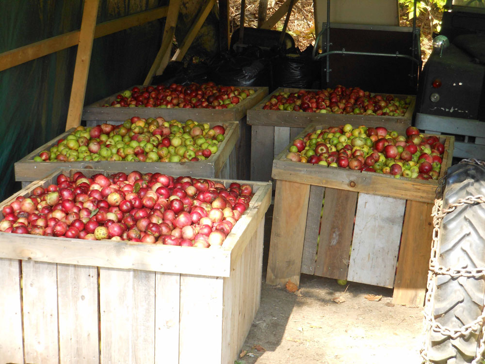 Apples Ready for Grinding.jpg