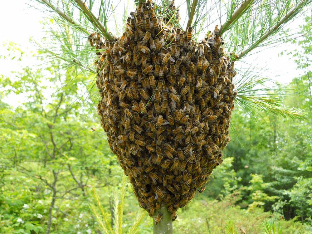Bee Swarm on White Pine.jpg