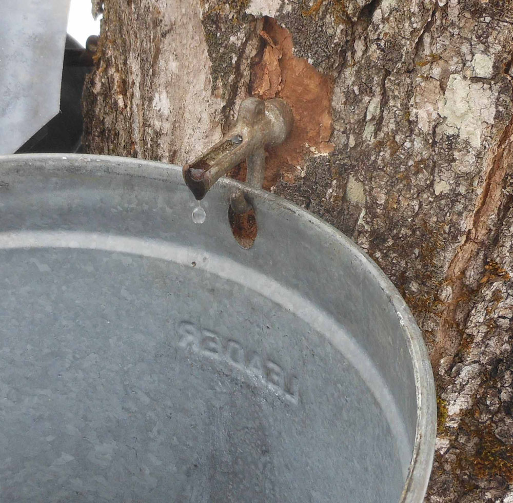 Sap dripping into bucket