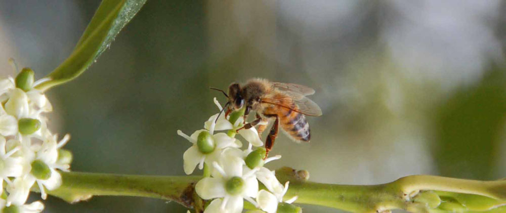 Honeybee Gathering Nectar from Holly.jpg