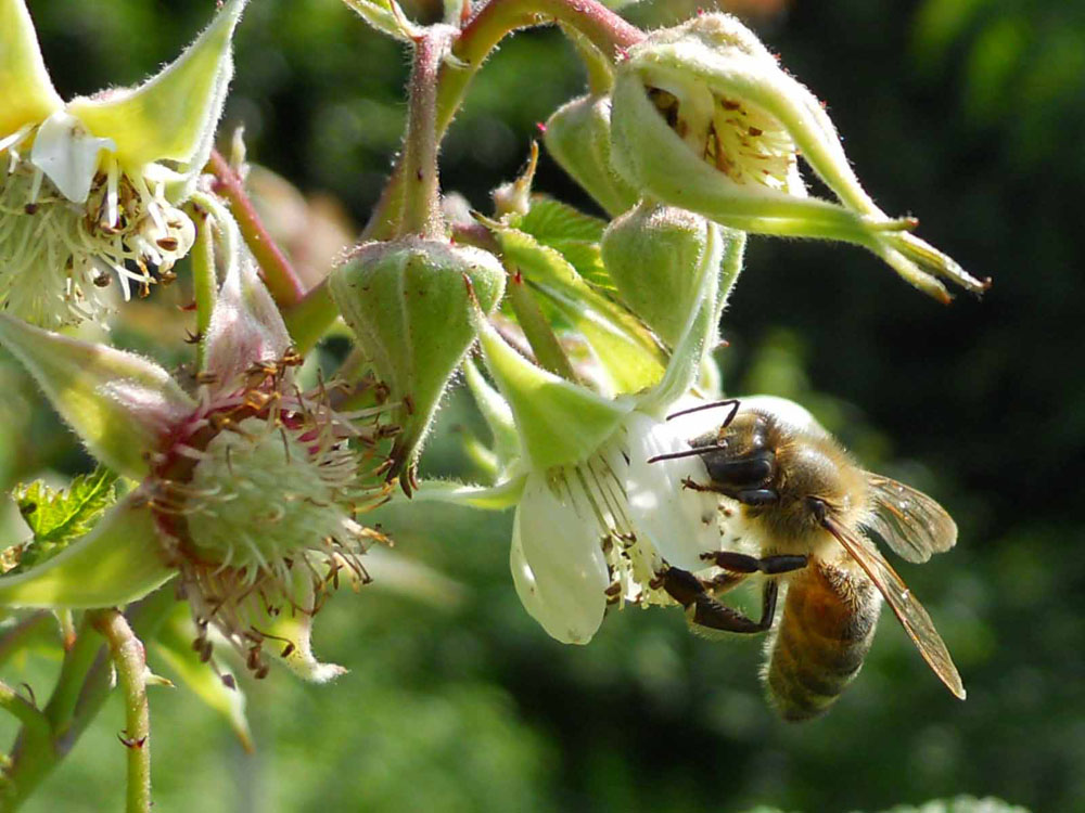 Honey Bee Gathering Nectar from Apple.jpg