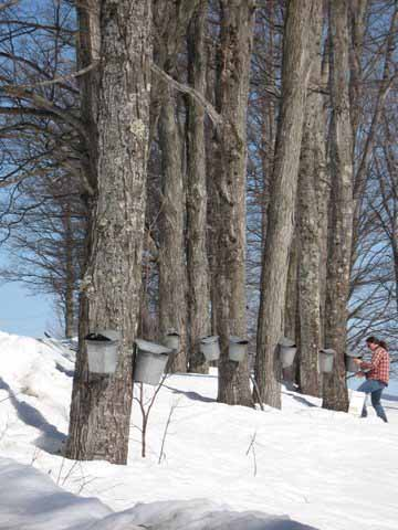 Collecting maple sap for boiling