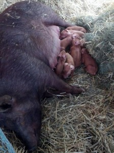 Ramona-and-her-piglets-2-224x300.jpg