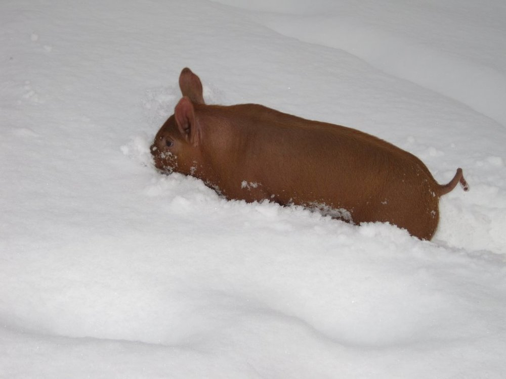 pigs in snow.JPG