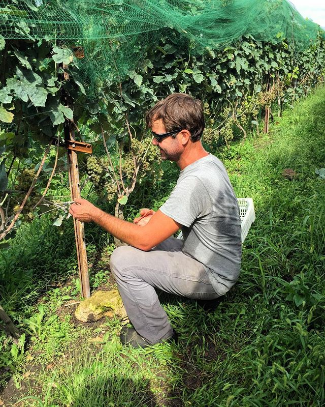 First day of harvest. @claverach_sam in the #marsanne . #missouriwine #naturalwine #triumphofthehybrids #claverachfarm