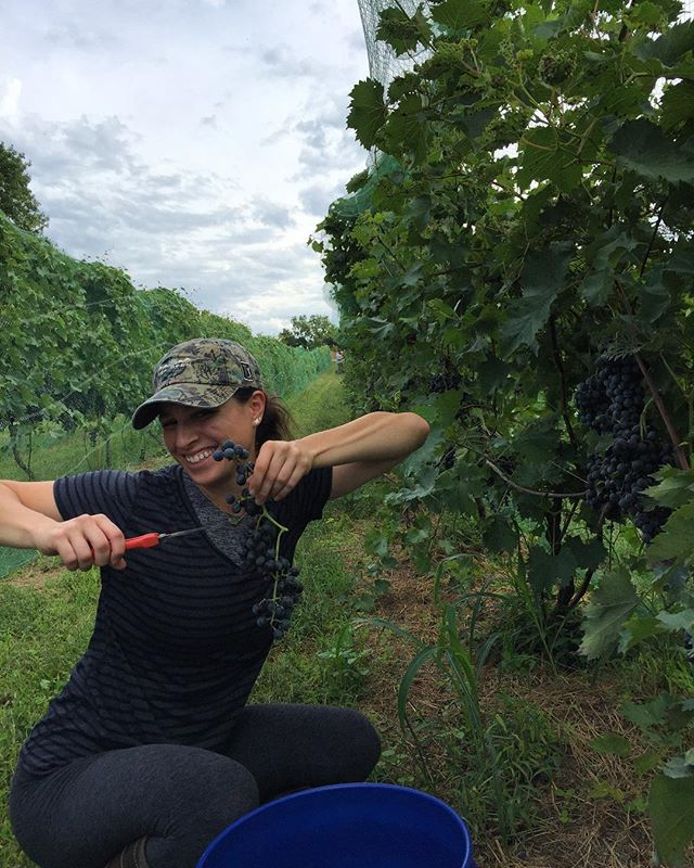 Aunt @becciezz in from Nashville to help pick chambourcin #triumphofthehybrids #claverachfarm #naturalwine #missouriwine