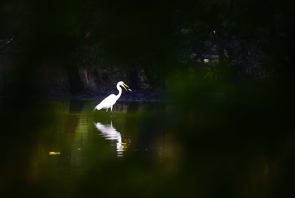 A White Heron finds a snack in the quiet waters of Scioto Audobon Metro Park.