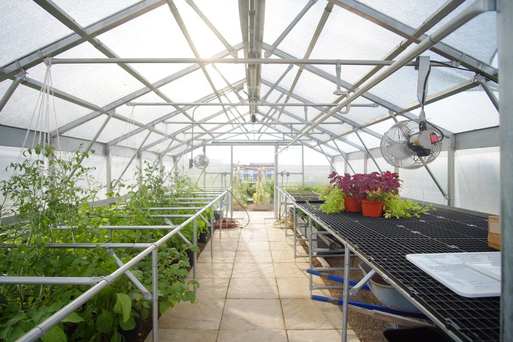 Inside greenhouse with tomato and tomatillo plants
