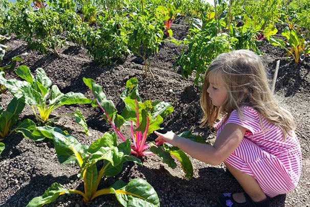 Little girl in pink dress kneeling and inspecting some chard