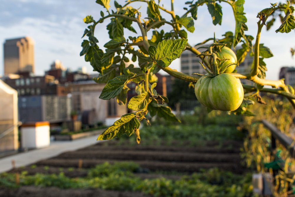 Closeup of green tomatoes hanging with farm rows and shed in the background