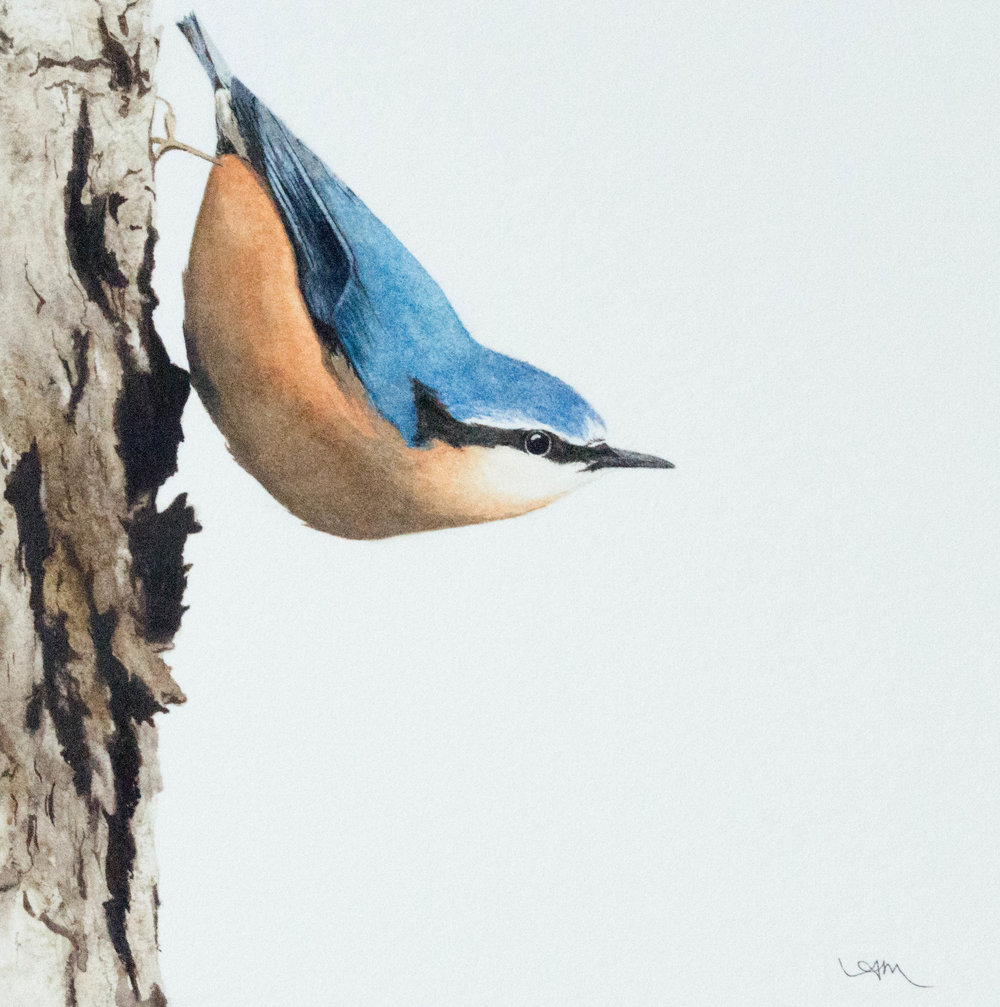 eurasian nuthatch, watercolor on paper *