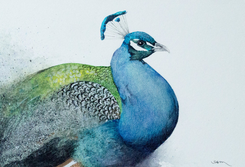 peacock, watercolor on paper