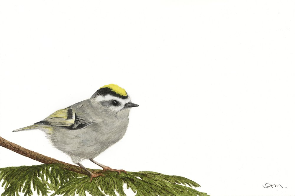 golden-crowned kinglet, watercolor on paper