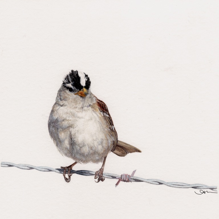white-crowned sparrow, watercolor on paper