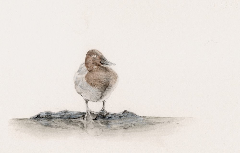 canvasback, watercolor on paper