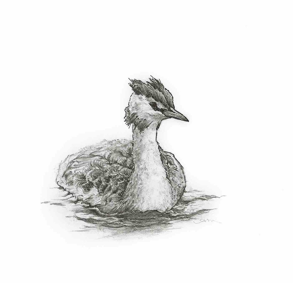 great crested grebe, pencil & ink on paper