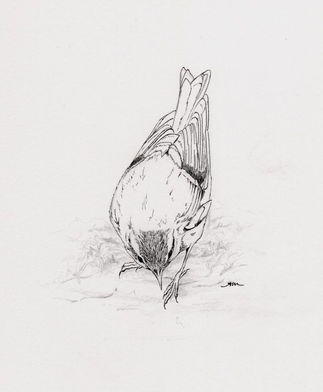 juvenile golden-crowned kinglet, pencil & ink on paper
