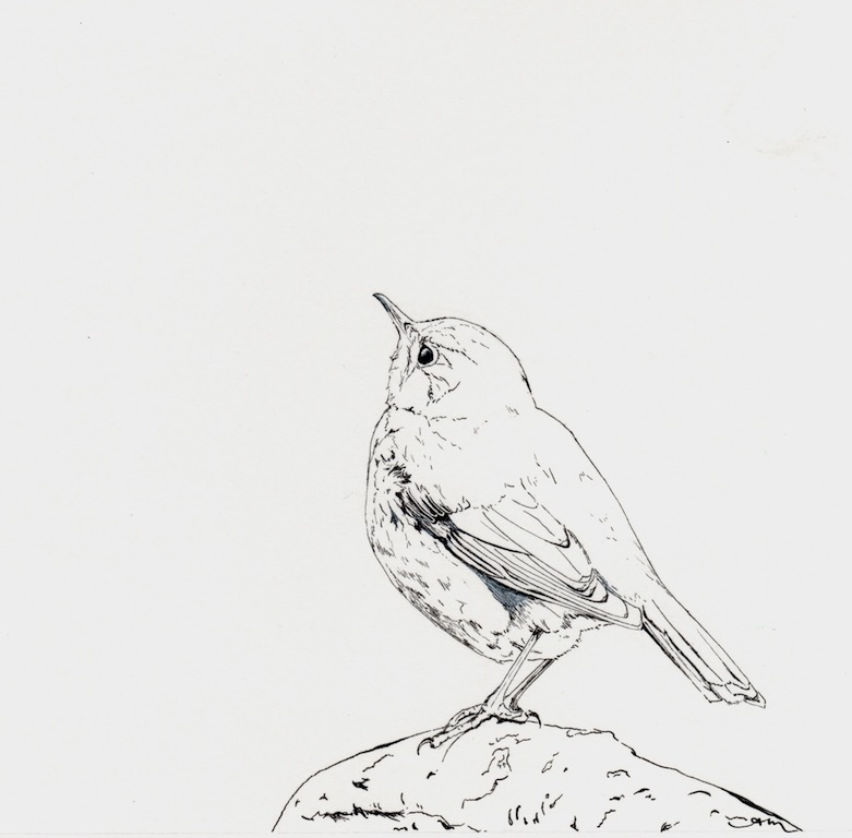 hermit thrush, pencil & ink on paper