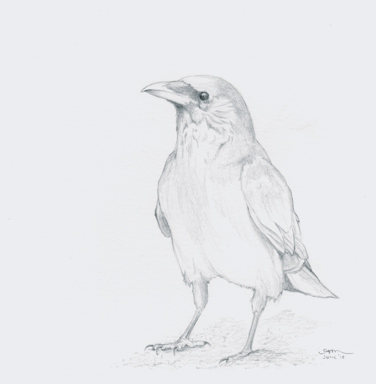 american crow, pencil on paper