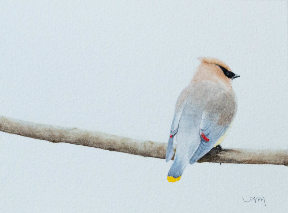 cedar waxwing, watercolor on paper* 2013 -PRIVATE COLLECTION-