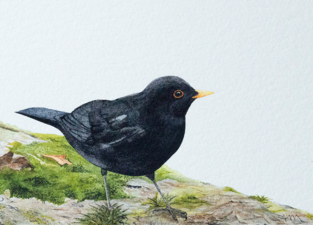 european blackbird, watercolor on paper* 2014 - SOLD-