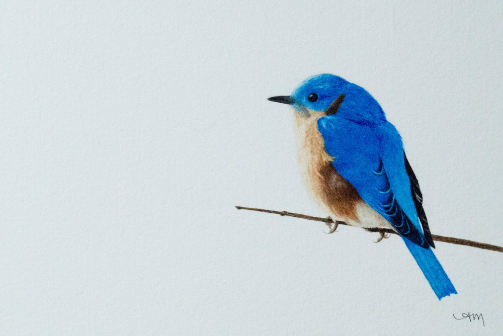 eastern bluebird, watercolor on paper* 2014 - SOLD-