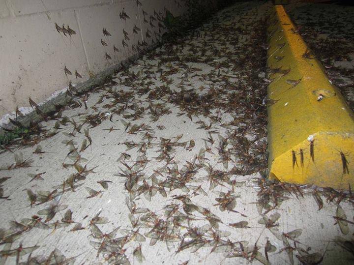 Hordes of mayflies explode in Minnnesota,