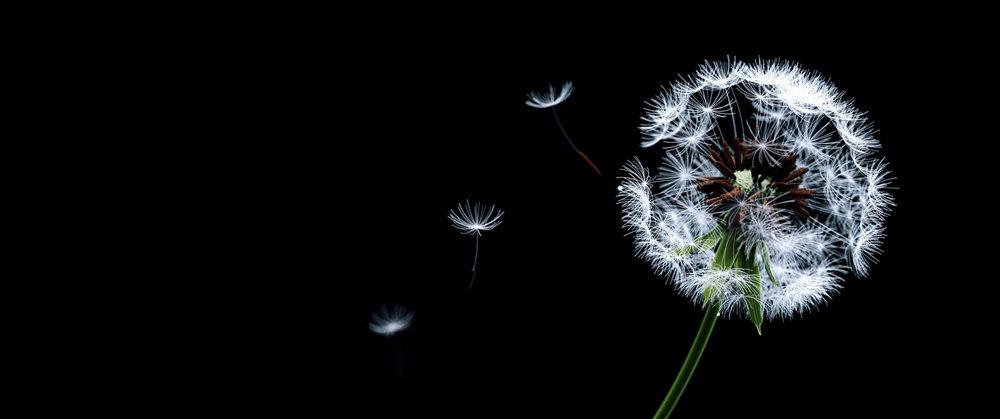 dandelion_wide.jpg