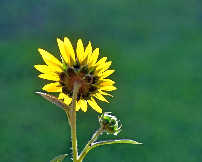 horne_bob_sunflower_at_home.jpeg