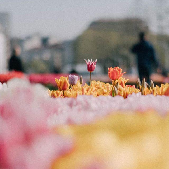 Tulip time..