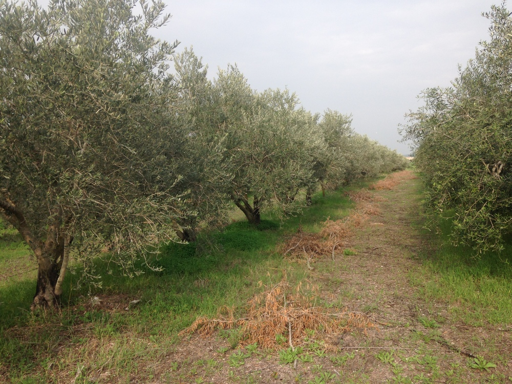 The path between two roads of olive trees at Gezer.