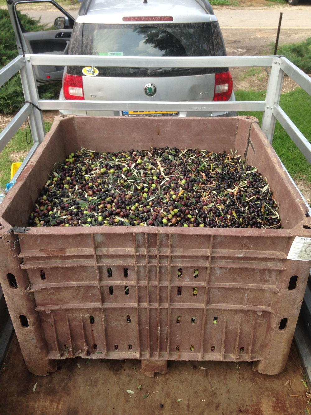 Olives loaded up ready to be taken to the olive press.