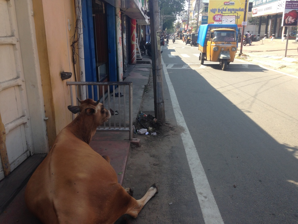 A cow taking a break from harassing traffic.